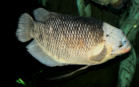 Đặc điểm dinh dưỡng của cá Tai Tượng