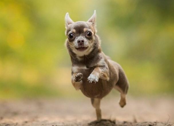 Chó chihuahua - Những thông tin thú vị về chú chó chihuahua có thể bạn chưa biết! 18