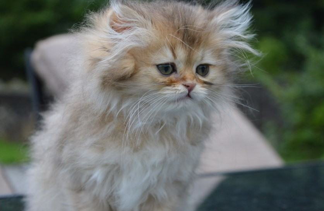 Kiến thức Mèo Anh Lông Dài (British Longhair Cat) A-Z 16