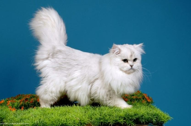 Kiến thức Mèo Anh Lông Dài (British Longhair Cat) A-Z 26
