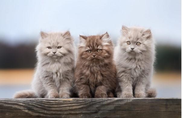 Kiến thức Mèo Anh Lông Dài (British Longhair Cat) A-Z 23