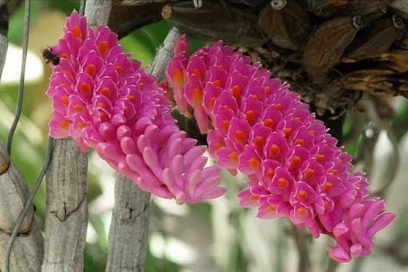 Hoa lan báo hỷ - Loài hoa có sắc đẹp rực rỡ và hương thơn cuốn hút 13