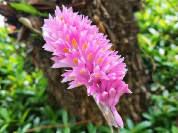 Hoa lan báo hỷ - Loài hoa có sắc đẹp rực rỡ và hương thơn cuốn hút 14