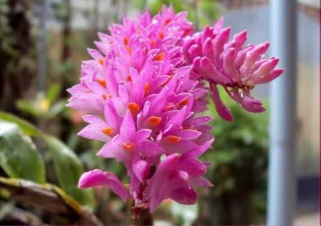 Hoa lan báo hỷ - Loài hoa có sắc đẹp rực rỡ và hương thơn cuốn hút 16