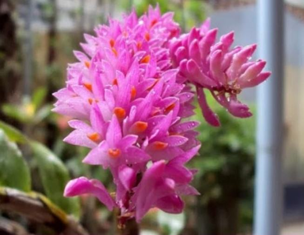 Hoa lan báo hỷ - Loài hoa có sắc đẹp rực rỡ và hương thơn cuốn hút 18