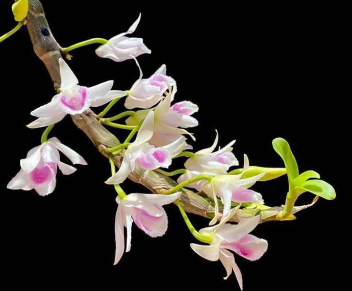 Hoa lan kèn - Nguồn gốc, đặc điểm, cách trồng và chăm sóc hoa lan kèn 17