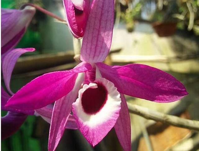 Hoa lan kèn - Nguồn gốc, đặc điểm, cách trồng và chăm sóc hoa lan kèn 20