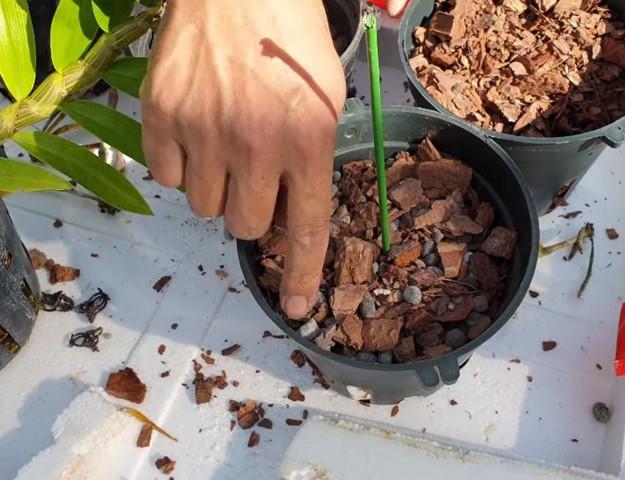 Hoa lan kèn - Nguồn gốc, đặc điểm, cách trồng và chăm sóc hoa lan kèn 14