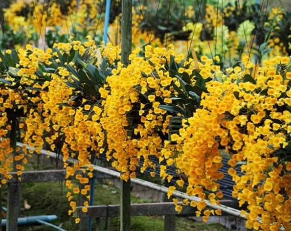Hoa lan vảy rồng - Nguồn gốc, đặc điểm, cách trồng và chăm sóc hoa lan vảy rồng 16