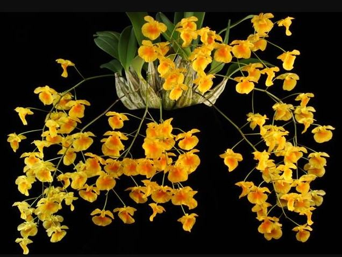 Hoa lan vảy rồng - Nguồn gốc, đặc điểm, cách trồng và chăm sóc hoa lan vảy rồng 20