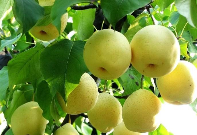 Cây Lê - Đặc điêm, công dụng, cách trồng và chăm sóc Cây Sam 8