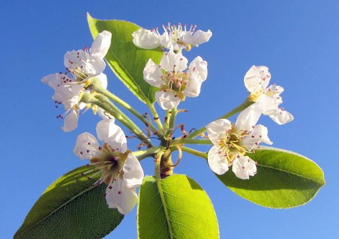 Cây Lê - Đặc điêm, công dụng, cách trồng và chăm sóc Cây Sam 7