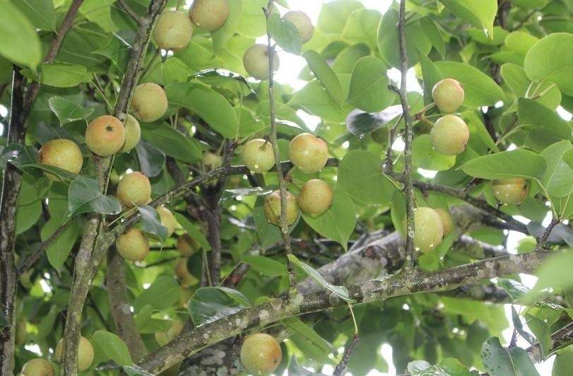 Cây Lê - Đặc điêm, công dụng, cách trồng và chăm sóc Cây Sam 10